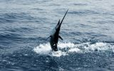 peche-sailfish
